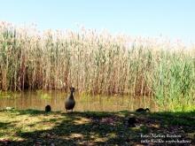 Überall Jungvögel im Schilf am Gardasee
