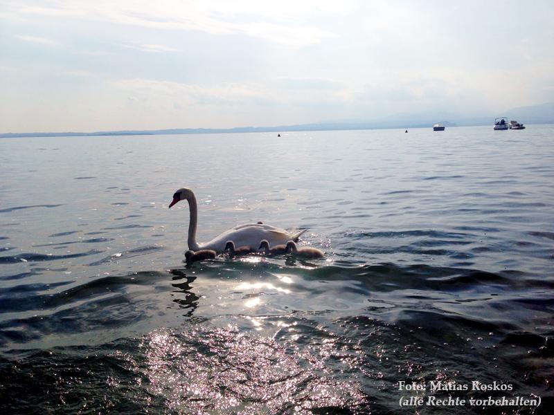 Schwäne auf dem Gardasee